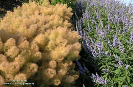Cotinus Young Lady e Vitex Latifolia