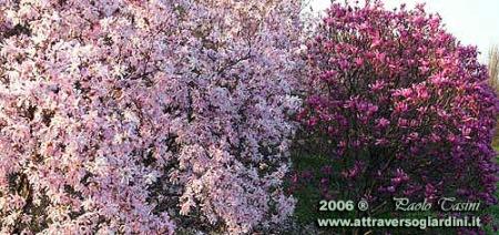 magnolie-in-fiore-copy.jpg