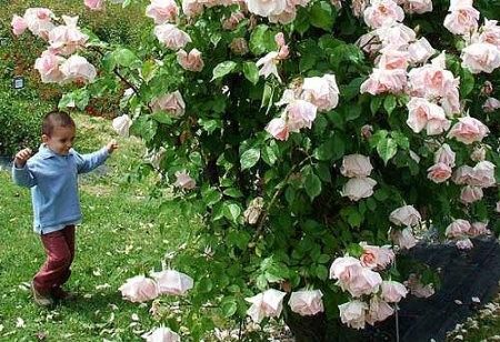Federico e rosa 'Belle Portugaise'