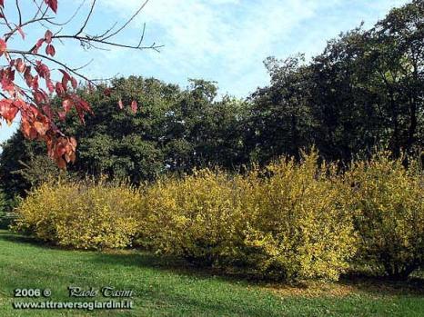 Acer campestre e Punica granatum