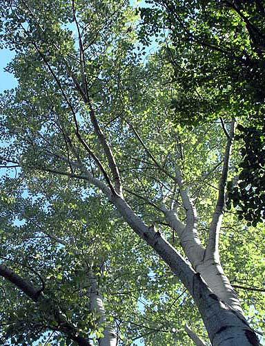 Populus canescens