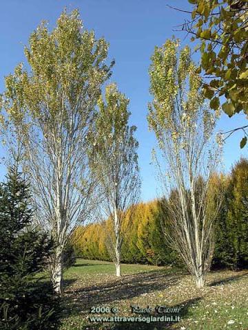 Populus alba 'Pyramidalis' e Carpinus betulus 'Pyramidalis'