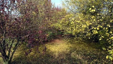 Prunus pissardi e cerasifera