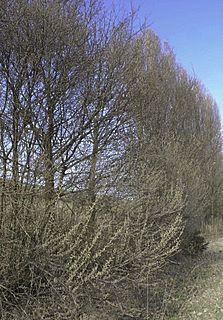 Salix e Populus
