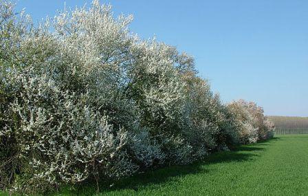 siepe di Prunus cerasifera